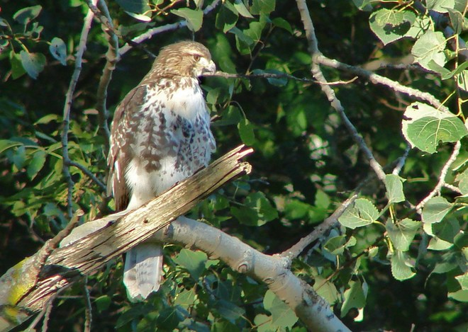 Immature Red-tailed Hawk ??? Stratford, Ontario Canada