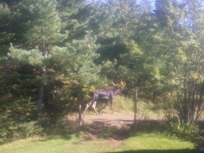 Moose On The Loose Bedford, Nova Scotia Canada