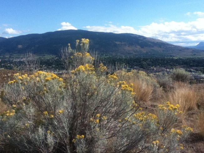 desert tumbleweeds in bloom South Vernon, British Columbia Canada