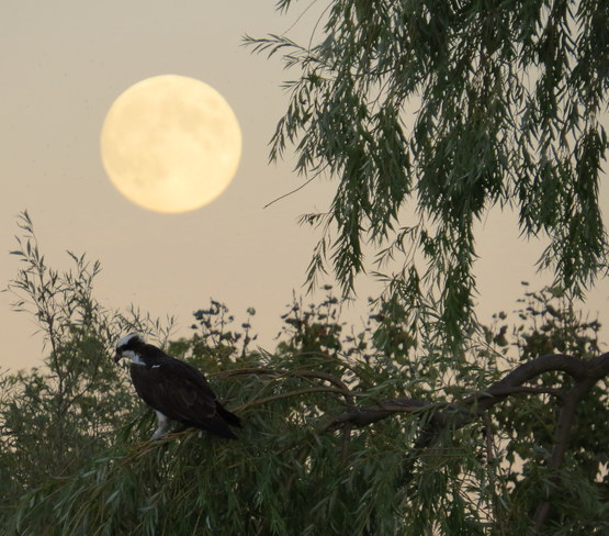 Osprey and Harvest Moon Hastings, Ontario Canada
