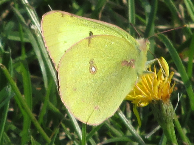 Yellow Sulphur Butterfly Moncton, New Brunswick Canada
