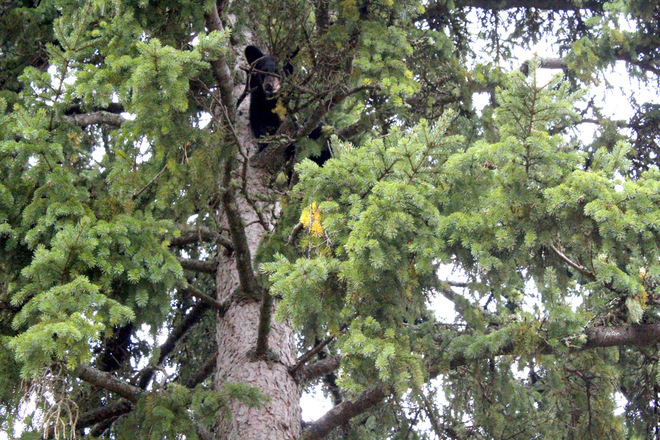 A Young Bear Way Up a Tree Kapuskasing, Ontario Canada