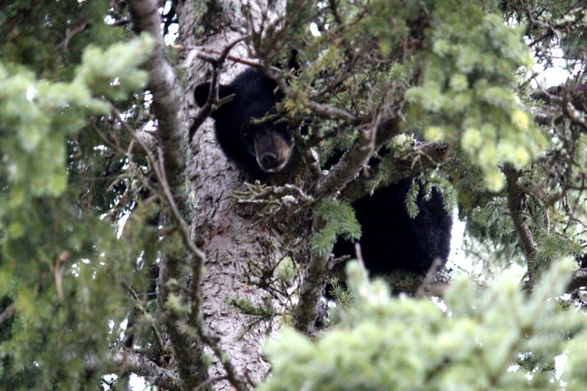 A Close-up of a Young Bear up a Pine Tree Moonbeam, Ontario Canada