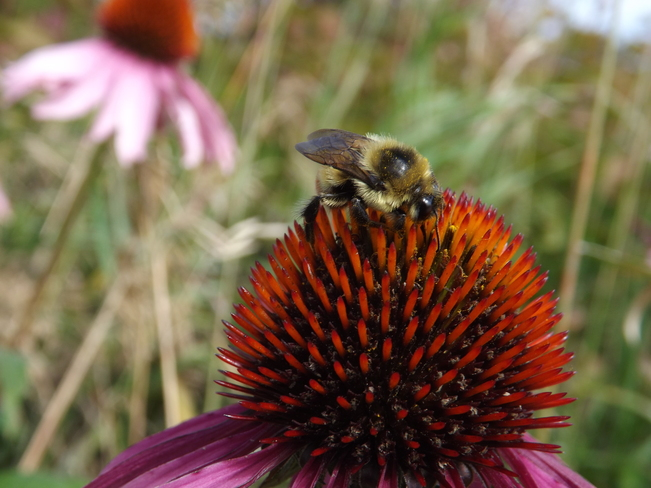 BEE FEASTING ON ECHINACEA PLANT Thunder Bay, Ontario Canada