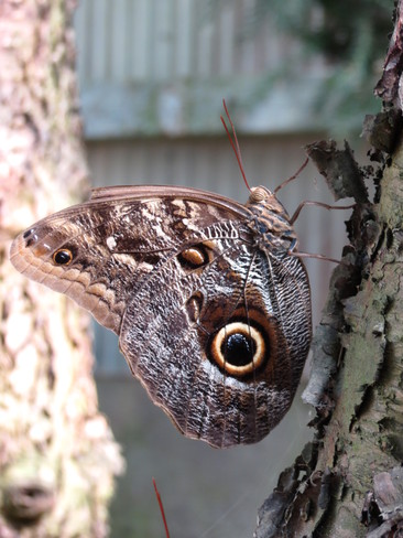 Great Owl Butterfly Coombs, British Columbia Canada