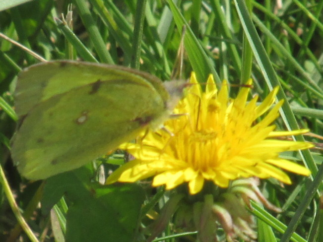 Yellow Sulphur Butterfly on Dandilion