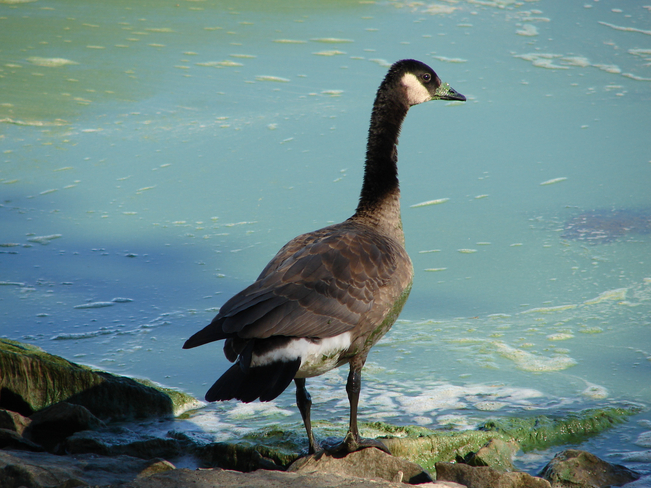 Canada Goose in algal bloom on Lake Winnipeg Hecla, Manitoba Canada
