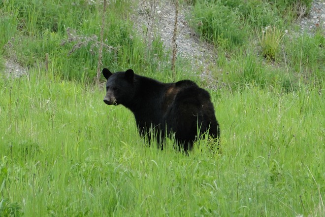 Black Bear in Wahnapitae Sudbury, Ontario Canada