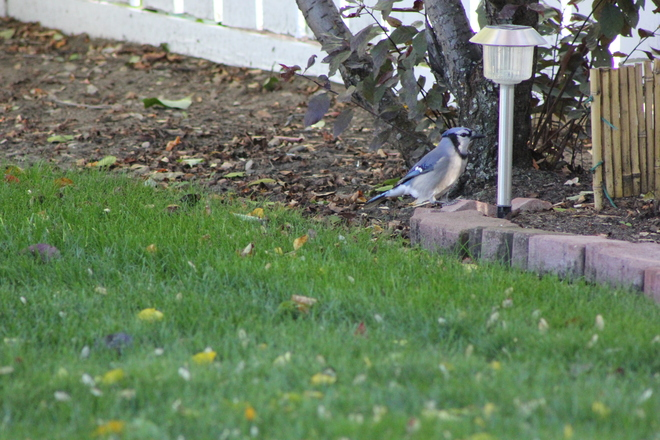 Blue Jay's supper time Medicine Hat, Alberta Canada