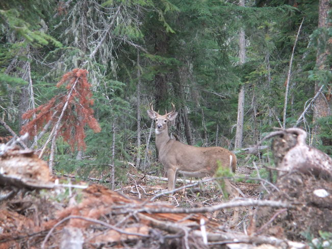 whitetail deer Fauquier, British Columbia Canada