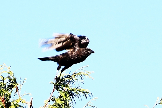 Crow in fly Surrey, British Columbia Canada