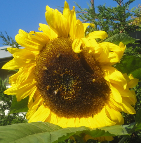 Sunflower with Bees Victoria, British Columbia Canada