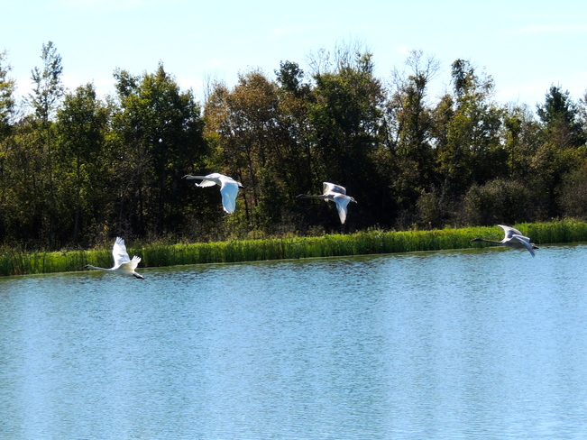 Trumpeter Swans Fly-By Port Perry, Ontario Canada