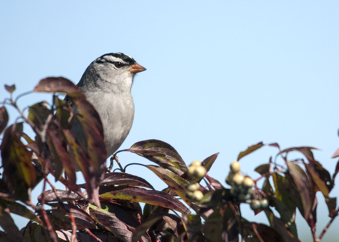 white crowned sparrow Elmvale, Ontario Canada