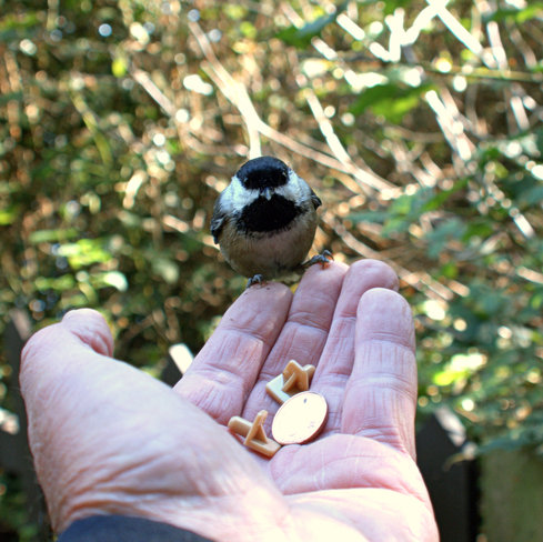 Black-capped Chickadee on my finger tips. Ladner, British Columbia Canada