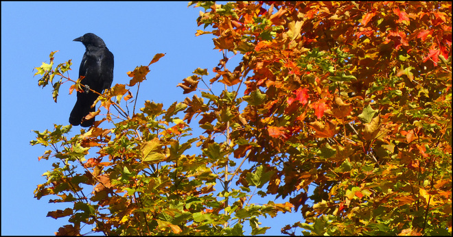 Esten Dr.. crow with autumn colours. Elliot Lake, Ontario Canada
