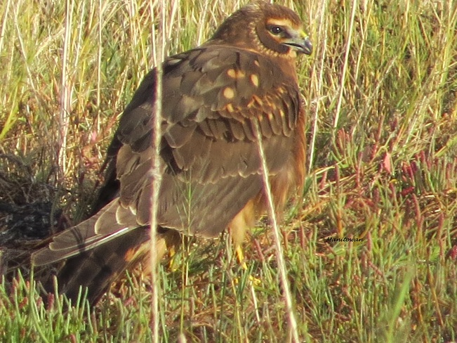 Northern Harrier At Boundary Bay Delta, British Columbia Canada