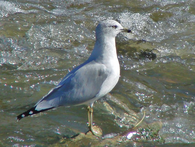 Ring Billed Gull on the North Thames Stratford, Ontario Canada
