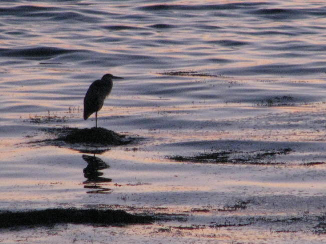 heron at sunset Maces Bay, New Brunswick Canada