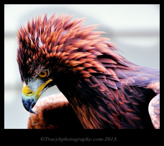The Majestic Golden Eagle. Port Dover, Ontario Canada
