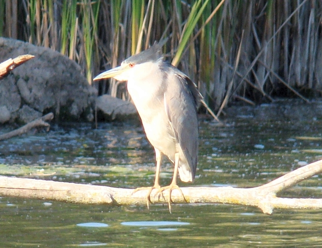 Black Crowned Night Heron Burlington, Ontario Canada