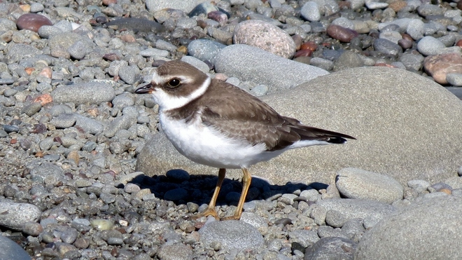 Beautiful Semi-palmated Plover Alma, New Brunswick Canada