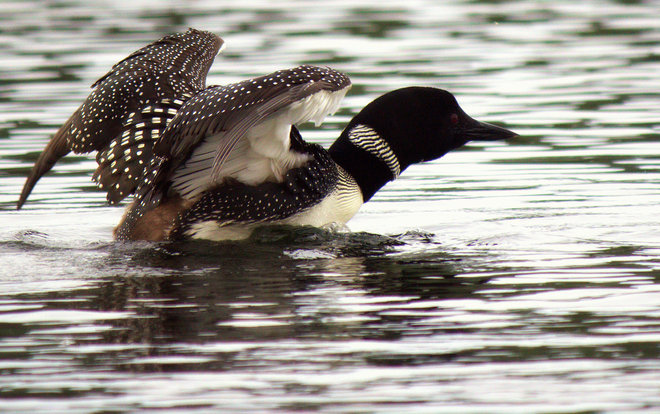 Lac Le Jeune Loon Kamloops, British Columbia Canada