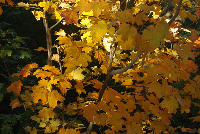 Autumn Leaves Montréal, Quebec Canada