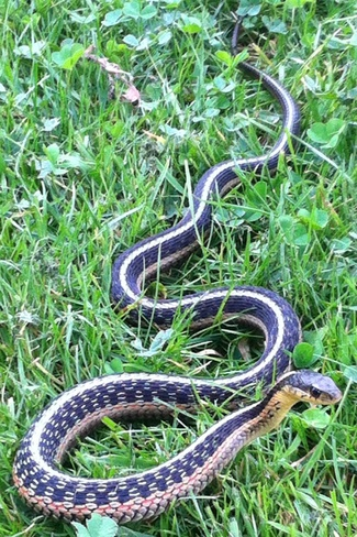 snake in the grass Callander, Ontario Canada