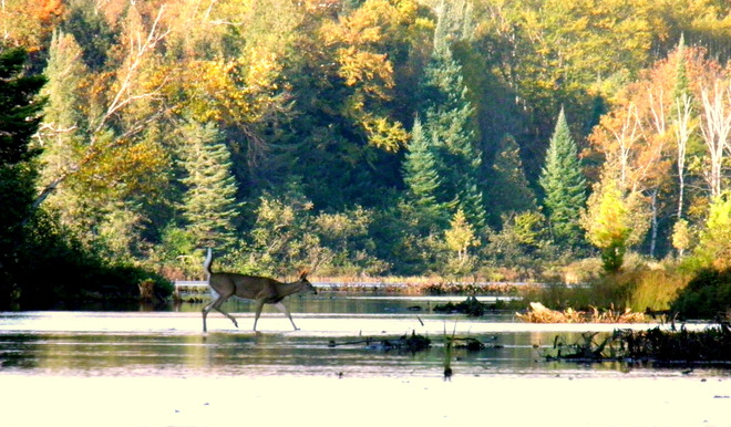Deer Crossing Wilberforce, Ontario Canada