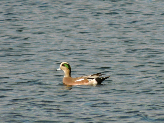 Male American Wigeon Port Perry, Ontario Canada