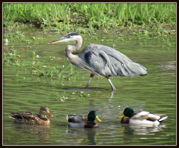 Blue Heron and ducks in the Shuswap River near Enderby Enderby, British Columbia Canada