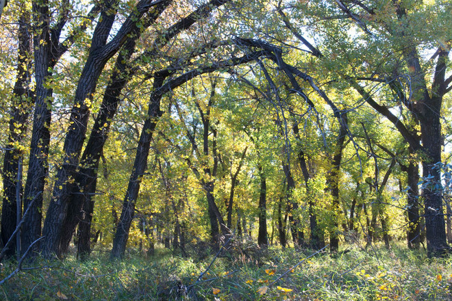 Oldman River Cottonwood Forest Lethbridge, Alberta Canada