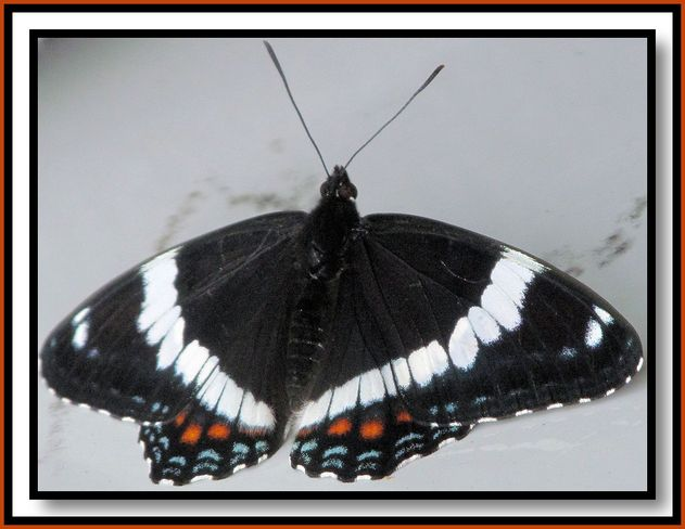 Black Butterfly by Rural Woman of the Year Leah Toth Port Loring, Ontario Canada