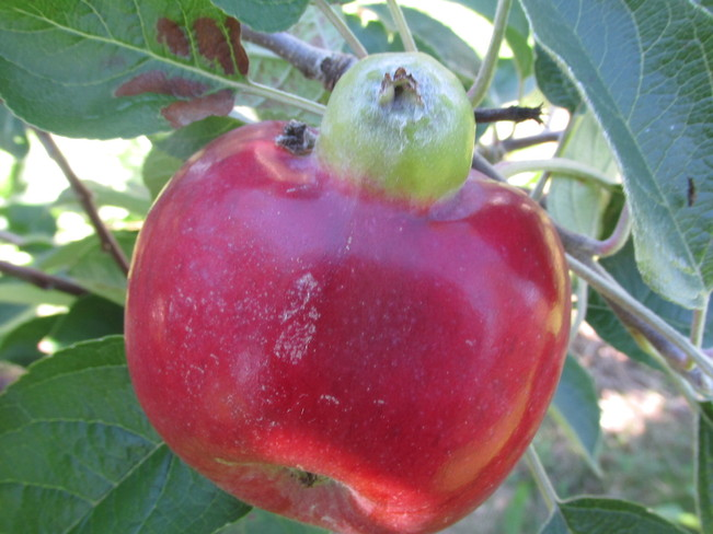 An apple growing within an apple Memramcook, New Brunswick Canada