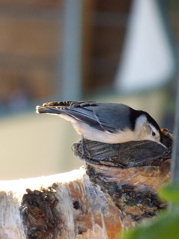 White Breasted Nuthatch Calgary, Alberta Canada