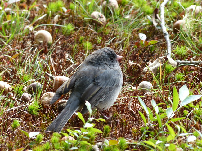 Junco Sable River, Nova Scotia Canada