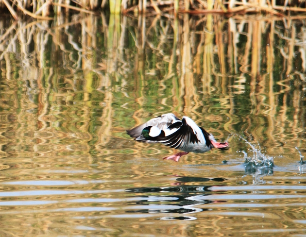 this looks more like a bufflehead Brooks, Alberta Canada