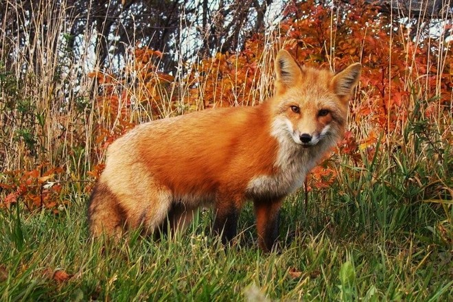 fall fox Sea View, Prince Edward Island Canada