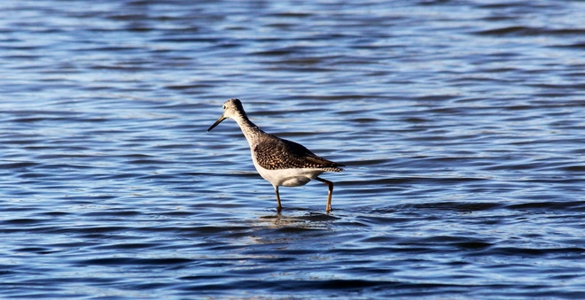 Greater Yellowlegs Winnipeg, Manitoba Canada