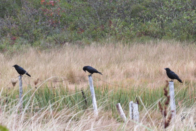 A Small M_u_r_d_e_r of Crows Chester, Nova Scotia Canada