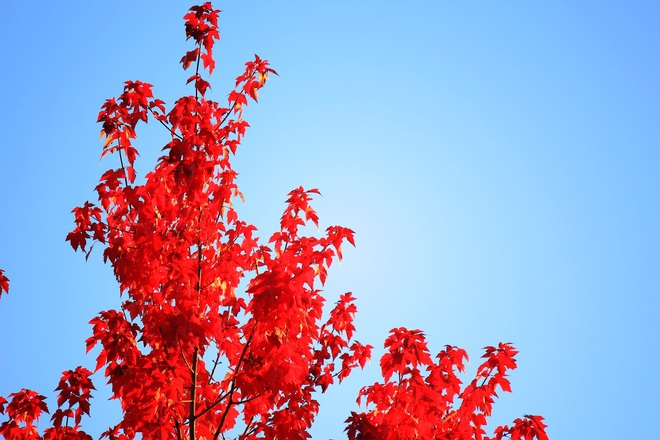 Red ... Autumn season.... Surrey, British Columbia Canada