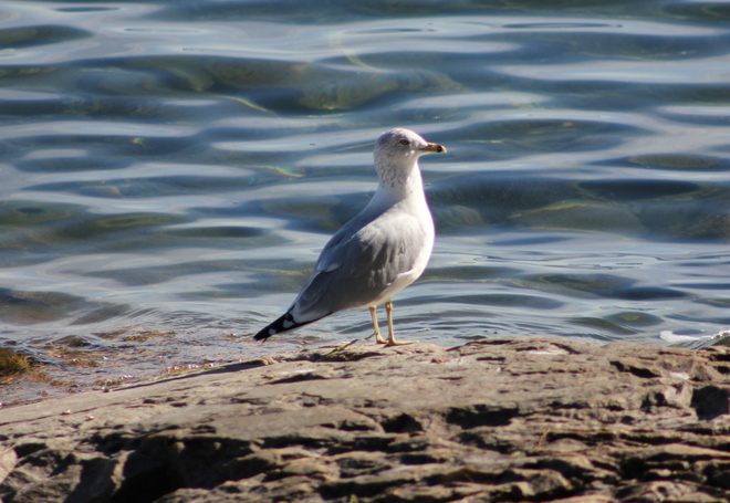 Seagull (shore of St. Lawrence River) Brockville, Ontario Canada