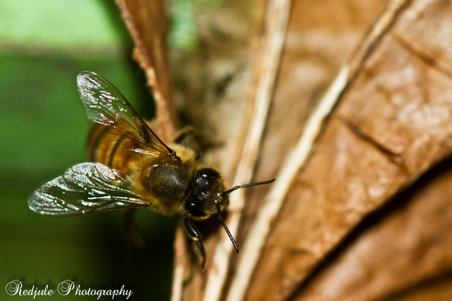Busy Honey Bee~ Langley, British Columbia Canada