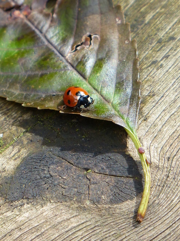 Lady Bug Langley, British Columbia Canada