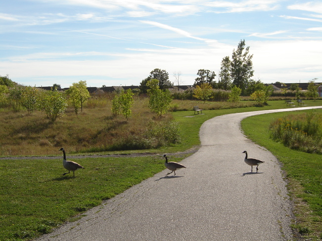 Geese crossing Windsor, Ontario Canada