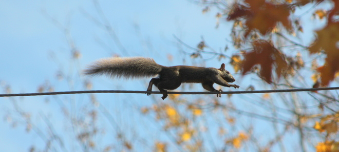 Acrobatic Squirrel Brockville, Ontario Canada