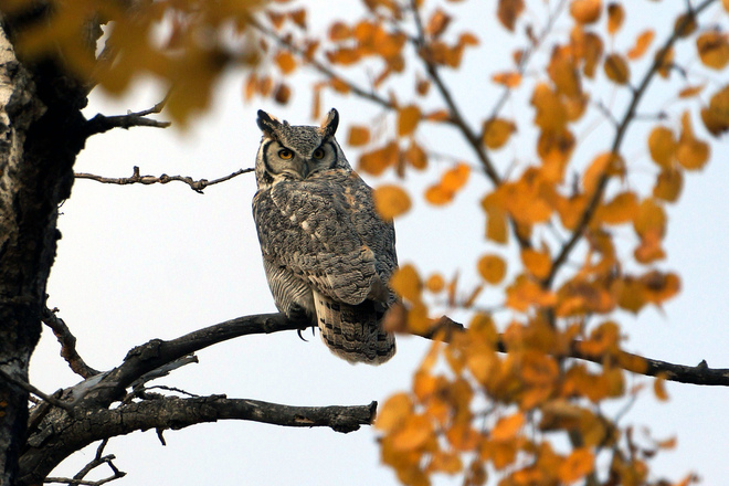 Horned Owl Olds, Alberta Canada