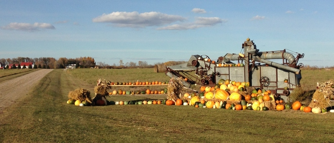 Beautiful Pumpkins Basswood, Manitoba Canada