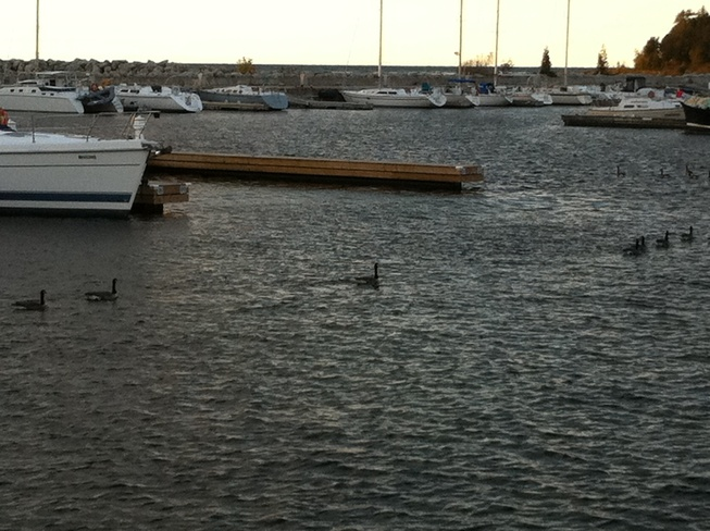 geese cruising the harbour Port Elgin, Ontario Canada